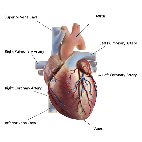 Diagram of heart hd m anatomical diagrams of heart heart failure online muscles ccuart Images